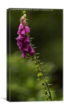 Fox glove, Canvas Print