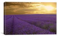 Lavender Farm , Canvas Print