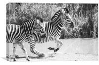 Running zebras, Canvas Print
