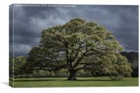 The Old Oak Of Glenridding, Canvas Print
