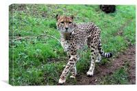 Cheetah Prowling, Canvas Print