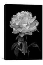 Flower in black and white, Canvas Print