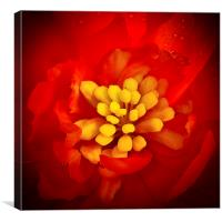 Red and yellow flower with raindrops, Canvas Print