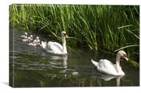 Swan Family Outing, Canvas Print