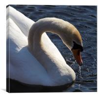 Male Swan, Canvas Print