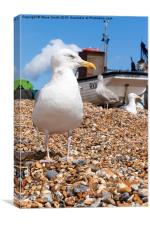 Seagull at the Stade, Canvas Print