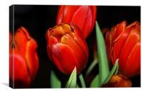 Orange Tulips within a dark background, Canvas Print