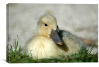 Duckling, Canvas Print