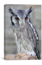 Scops Owl, Canvas Print