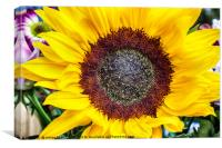 Large sunflower head viewed from above, Canvas Print