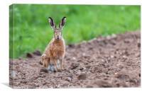 Wild hare sat staring at camera, Canvas Print