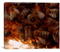 Honey Bees on comb., Canvas Print