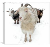 Goats in the Snow, Canvas Print
