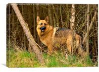 German Shepherd in the woodland, Canvas Print