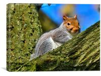 grey squirrel, Canvas Print