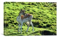 Young Fallow Deer, Canvas Print