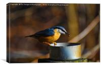 Nuthatch Feeding, Canvas Print