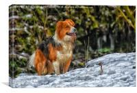 Border collie dog, Canvas Print