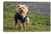 Yorkshire Terrier Dog, Canvas Print