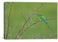 Little Green bee Eater, Canvas Print