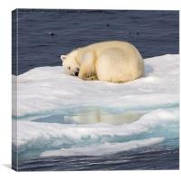 Sleeping Polar Bear Reflection, Canvas Print