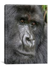 Mountain Gorilla Portrait, Canvas Print
