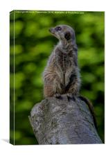 Meerkat Sentry, Canvas Print
