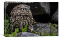 Little Owl Portrait, Canvas Print