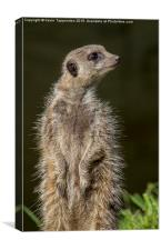 Meerkat Lookout, Canvas Print