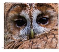 Tawny Owl Portrait, Canvas Print