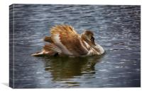 Angry Young Swan, Canvas Print