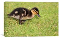 Lovely Duckling, Canvas Print