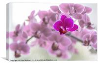 Single  purple orchid in front of pink orchids, Canvas Print