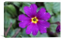 The purple flower, Canvas Print