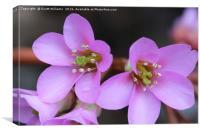Double purple flower, Canvas Print