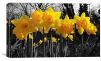 daffodils - a dash of yellow, Canvas Print