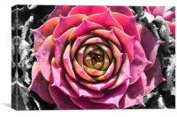 Succulent Rock Flower, Canvas Print