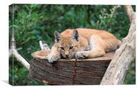 European Lynx Cub, Canvas Print
