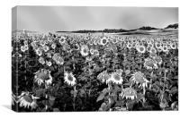 Field of sunflowers in grey