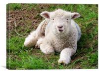 Sweet baby lamb , Canvas Print