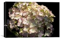 Hydrangea in the sunshine, Canvas Print