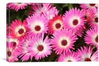 Livingstone Daisies, Canvas Print