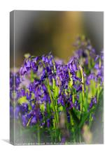 Bluebells at Blickling Park, Canvas Print