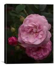 Old English Rose, Canvas Print