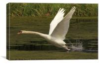 Swan into flight, Canvas Print