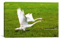 Swans in flight, Canvas Print