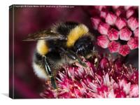 Close up of Bee on pink flower, Canvas Print