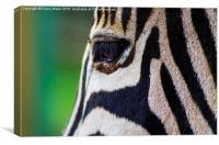 Gentle Zebra Face, Canvas Print