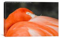 A closeup of the head of a sleeping flamingo, Canvas Print