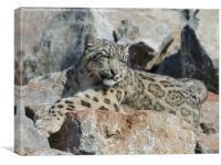 Sleepy snow leopard camouflaged on grey rocks, Canvas Print